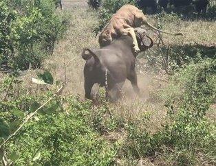 Aslan hayatının şokunu yaşadı! Vahşi doğada korkunç karşılaşma!