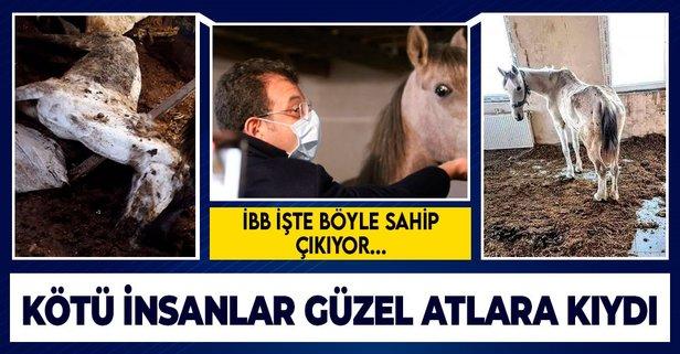 İBB'nin sorumluluğundali atlar pislik içinde öldü!