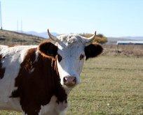 Türkiyeye et ihracatı Sırbistandaki Boşnaklardan