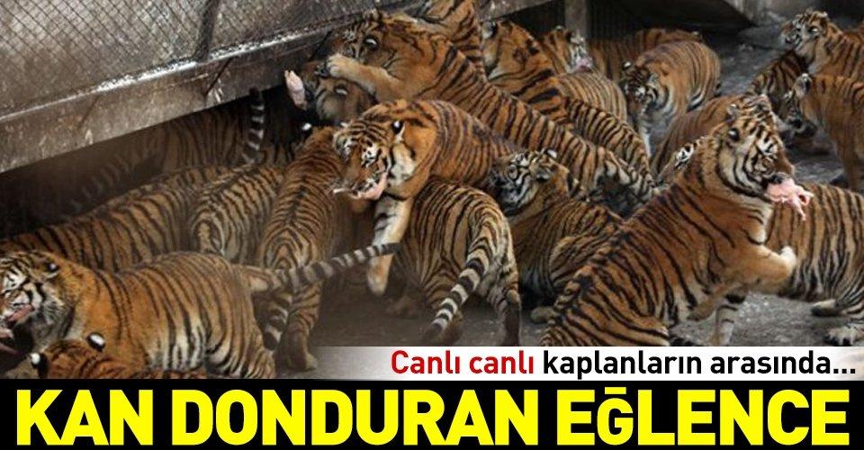 Canlı canlı kaplanların arasında...