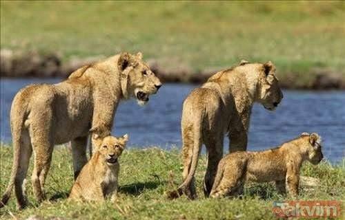 Hayran bırakan cesaret! Vahşi doğanın fedakar anneleri...