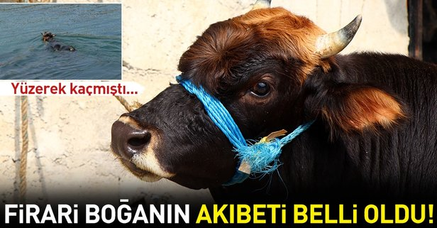 Rizeden Trabzona yüzen boğanın sahibi: Kesmeye kimsenin gönlü razı gelmez