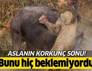 Tek sandığı bufaloya saldırmak isteyen aslanın feci sonu... Vahşi doğada kan donduran an!