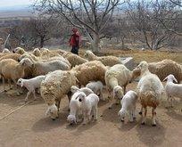 '300 koyun projesi'nde başvurular yarın sona erecek