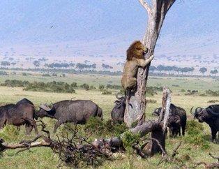 Dişi aslanlar erkek aslana böyle saldırdı! İnanılmaz anlar...