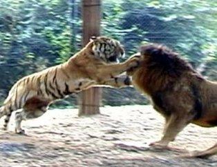 Vahşi doğada görülmemiş olay! Aslan ve kaplanın kavgası kan dondurdu