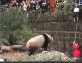Küçük kız pandaların olduğu kafese düştü! Sonrasında olanlar...