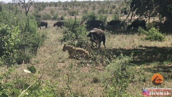 Vahşi doğada ölümcül karşılaşma! Aslan hayatının şokunu yaşadı