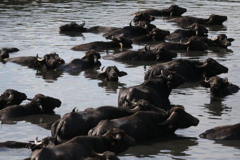 Balıkesirde mandaların Afrikayı andıran halleri
