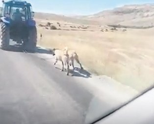 Kangal zulmü!