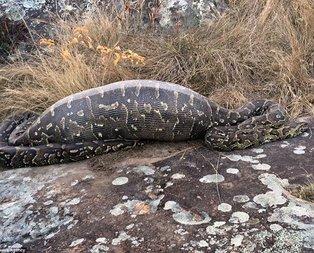 Oklu kirpiyi yutmak isteyen yılan böyle telef oldu...