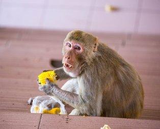 Rhesus maymunu hakkında bilgiler