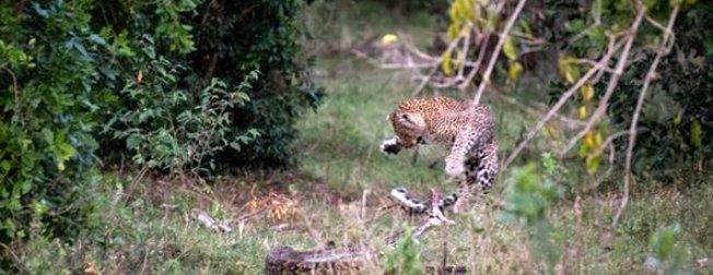Görenler gözlerine inanamadı, anbean kamerada! Leopara kafa tutan piton...