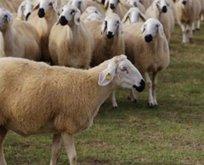 2020 yılı için genç çiftçilere 300 koyun hibesi var mı?