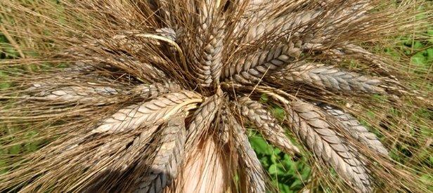 7 Bin Yıllık Buğday Marmariste Umut Oldu Takvim 28 Mayıs 2017