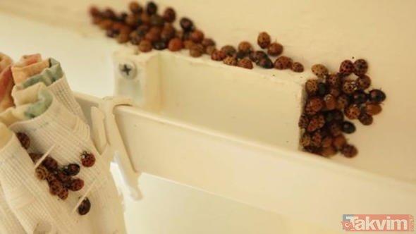 İngiltere uğur böceği istilasına uğradı! Uğur böcekleri cinsel yolla bulaşan hastalık taşıyor