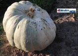 450 kilogramlık bal kabağı vatandaşlar tarafından ilgi görüyor