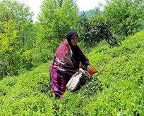 Yaş çay üreticileriyle ilgili flaş karar
