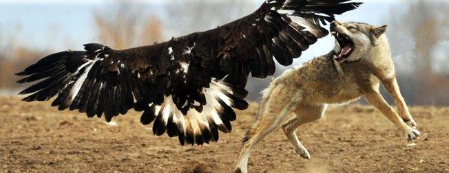 Vahşi doğadan gelen Kartalın Kurt avı hayrete düşürdü