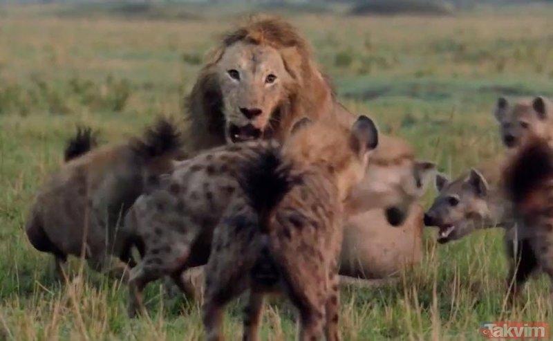 Son anda öyle bir şey oldu ki... Sırtlanların arasında tek başına kalan aslan!