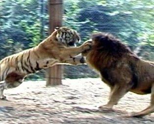 Aslan ve kaplanın karşılaşması nefesleri kesti!