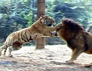 Aslan ve kaplanın karşılaşması nefesleri kesti! Sonu inanılmaz