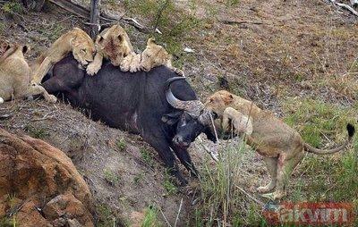 Ava giderken avlandı! Bir anda bufaloların arasında kalan aslanın zor anları (Aslan - Bufalo kavgası)