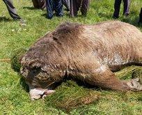 Silahla vurulduktan sonra göle düşen ayı öldü