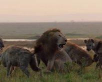 Sırtlanların arasında kalan aslanın yardımına bakın kim koştu!
