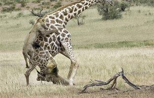 Kan donduran görüntü! İki aslan dev zürafayı gözüne kestirdi
