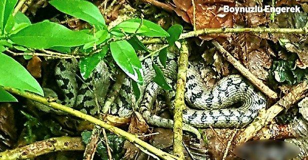 Dünyanın en zehirli yılanının üstüne bastı