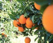 Portakal tansiyona hoşça kal