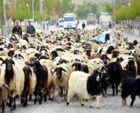 300 koyun projesine yoğun talep