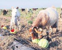 Karpuz keçilere yem oldu