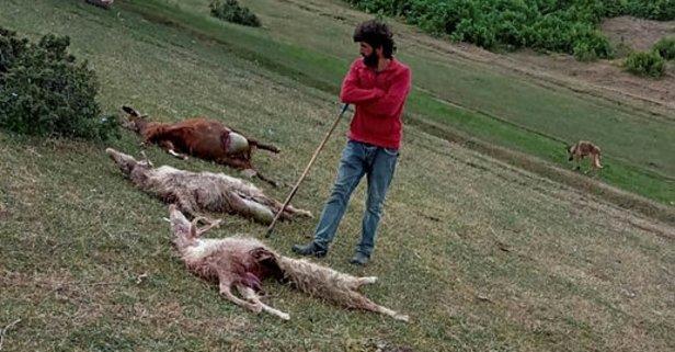 Sürüyedalan kurtlar 15 keçiyi telef etti