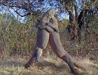 Vahşi doğada ürküten kapışma! Komodo ejderlerinin kavgası dehşete düşürdü