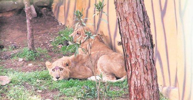 Aslanlar yuvada