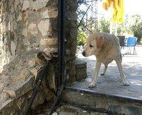 Yılanın köpeğe saldırı anı