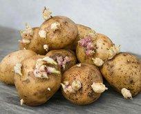 Dikkat bu patatesler öldürüyor!