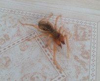 Salonunda gördü gözlerine inanamadı! Et yiyen örümcek...