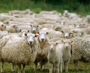 Üreticiye 300 koyun