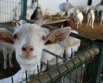 Türk bilim insanları keşfetti! Koronavirüse karşı etkisi keçi sütüne talebi arttırdı