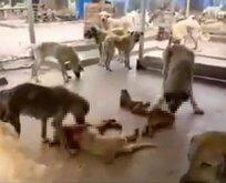 Kan donduran iddia: Köpekler birbirlerini yedi!