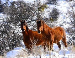 Yılkı atları Murat Dağı'nda 3 yıl aradan sonra yeniden görüntülendi
