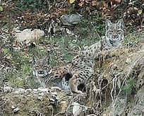 Karabük'te 2 yavru vaşak görüntülendi
