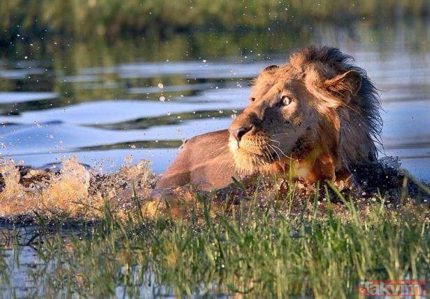 Aslanı korkutan karşılaşma! Aslan kral öyle bir korktu ki... Pişman oldu