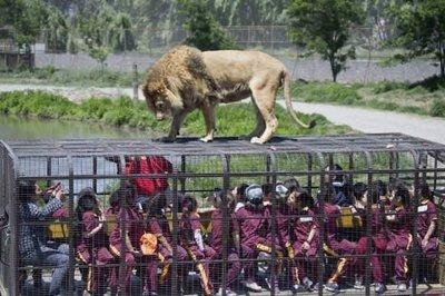 Aslanlar ile burun buruna