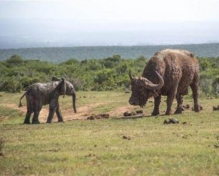 Bufalo yavru file saldırdı saldırmasına ama sonra...