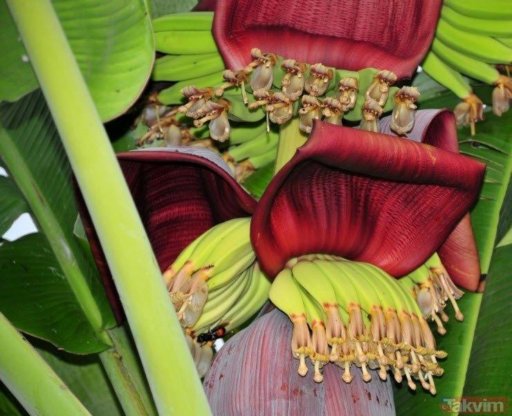 Muz çiçeği şeker Hastalığından Kansere Kadar Her Derde Deva Muz