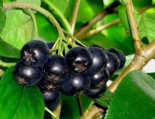 Kanseri önleyen mucizevi besin aronya! Aronya meyvesinin faydaları nelerdir?